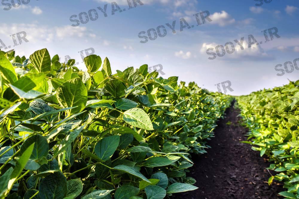 مناطق کاشت لوبیای سویا در ایران و جهان